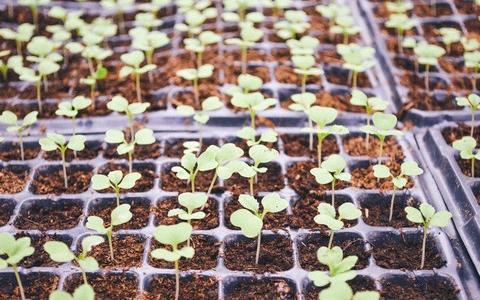 pestovani sadby