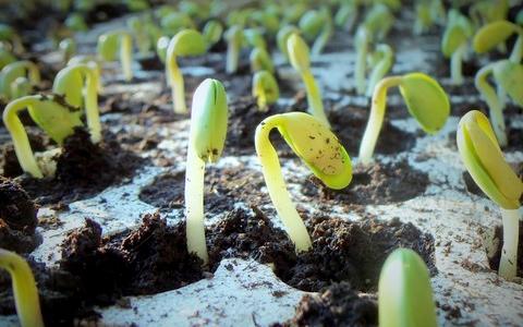 klicici rostliny